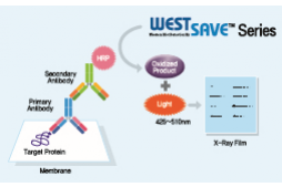 Western blot detection kit를 이용한 단백질 검출